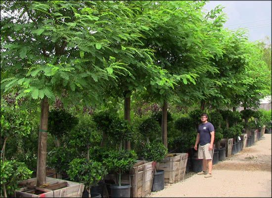 How to Plant Containerized Trees